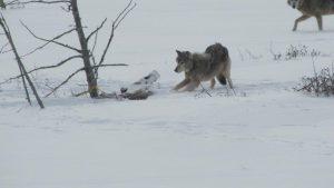 larkwolf2(2)