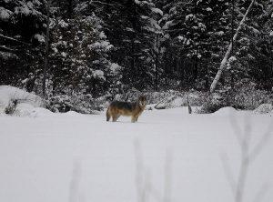 Triangle Lake wolf by Ramon